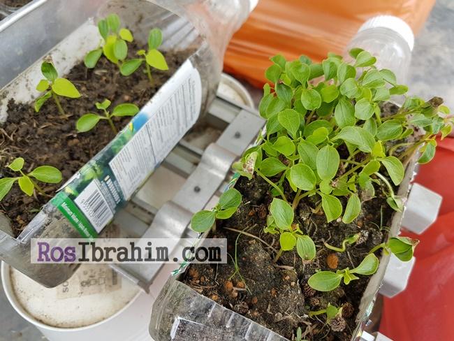 Kebun Kecil Di Rumah | Main Tabur-Tabur Biji Betik Tiba-Tiba Anak Pokok Betik Tumbuh Macam Cendawan Selepas Hujan!